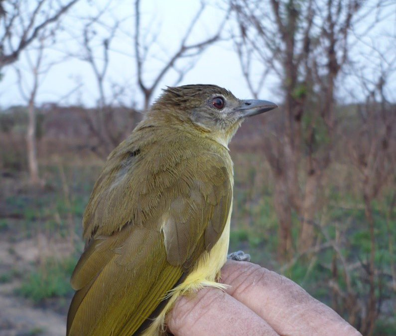 Captura de aves em Angola