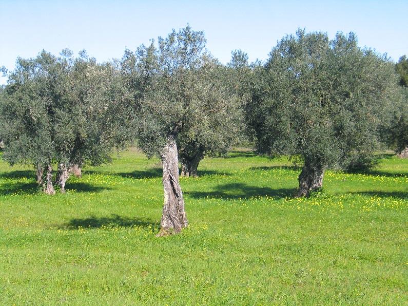 Ao redor dos olivais (I)