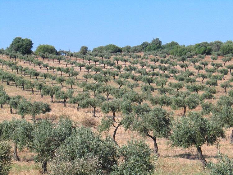 Fiadas de oliveiras.