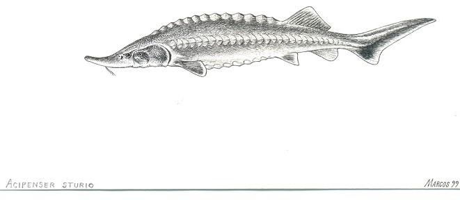 Memórias do peixe-sonho
