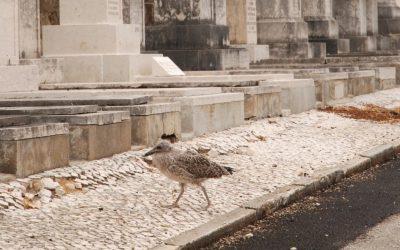 Recenseamento da população de gaivota-de-patas-amarelas nidificante em Lisboa