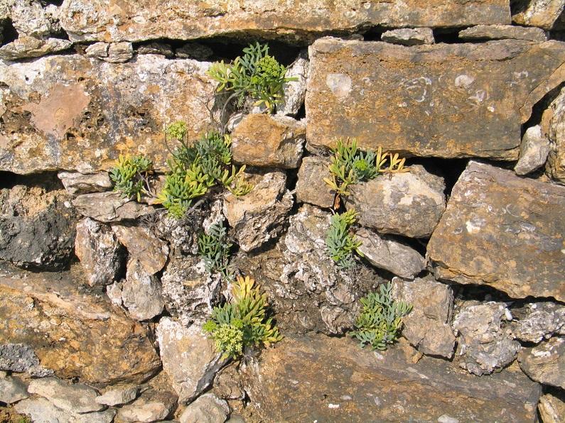 Os muros constituem micro habitats para muitas espécies nomeadamente plantas vasculares ligadas a meios saxícolas. Crithmum maritimum sobre um muro na região de Torres Vedras
