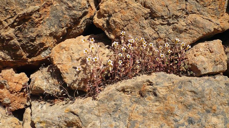 Os muros constituem micro habitats para muitas espécies nomeadamente plantas vasculares ligadas a meios saxícolas. Sedum mucizonia (?) num muro no Barrocal Algarvio (Tavira)