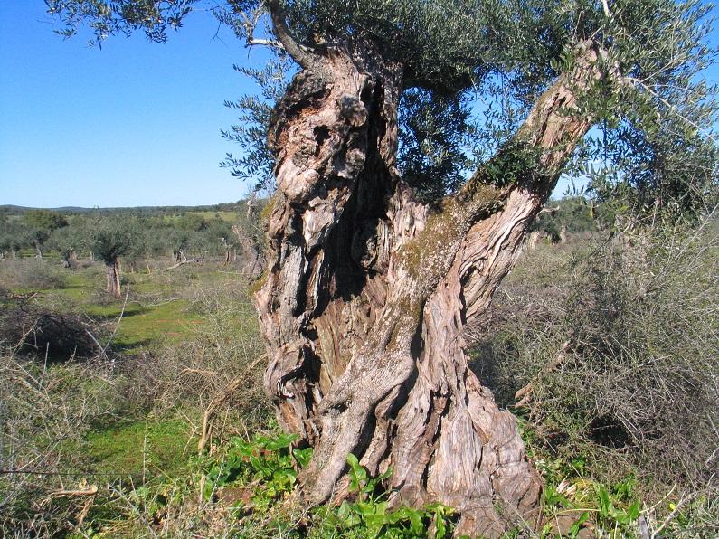Exemplar de oliveira centenária num olival no Alvito (Alentejo)