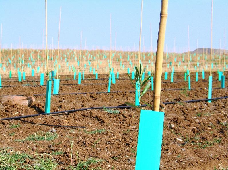 Olival de cultura intensiva em Ferreira do Alentejo, note-se o reduzido espaçamento entre as árvores