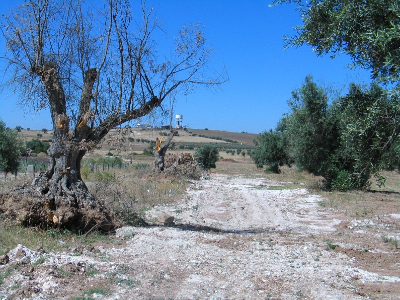 Oliveiras arrancadas na área de regadio do Alqueva (zona de Beringel). Note-se que neste caso as árvores terão sido utilizadas apenas para lenha!)