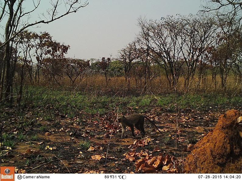 Macaco-de-cara-preta em Malanje, Angola