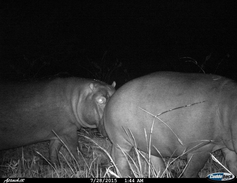 Hipopótamo em Malanje, Angola