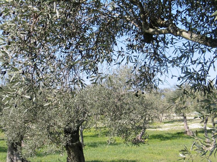 Em redor dos olivais (II)