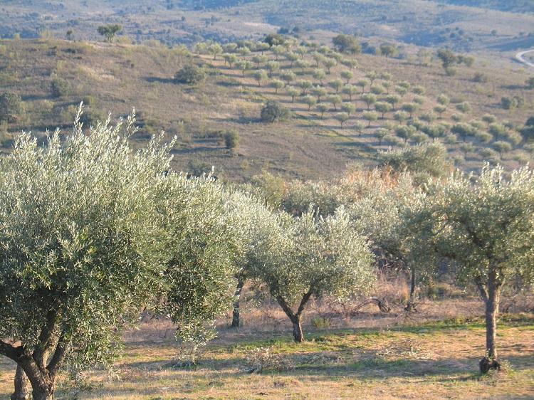 Paisagem de olival e azinho